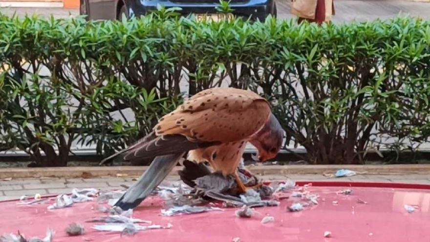 La impactante imagen de un cernícalo comiéndose una paloma en València
