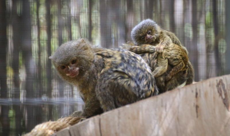 La hembra de titi pigmeo junto a sus dos gemelos que transporta en su lomo.