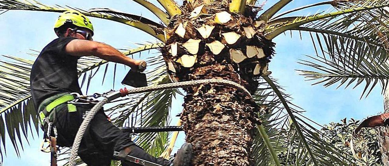 Un palmerero trabajando en uno de los ejemplares del Palmeral.
