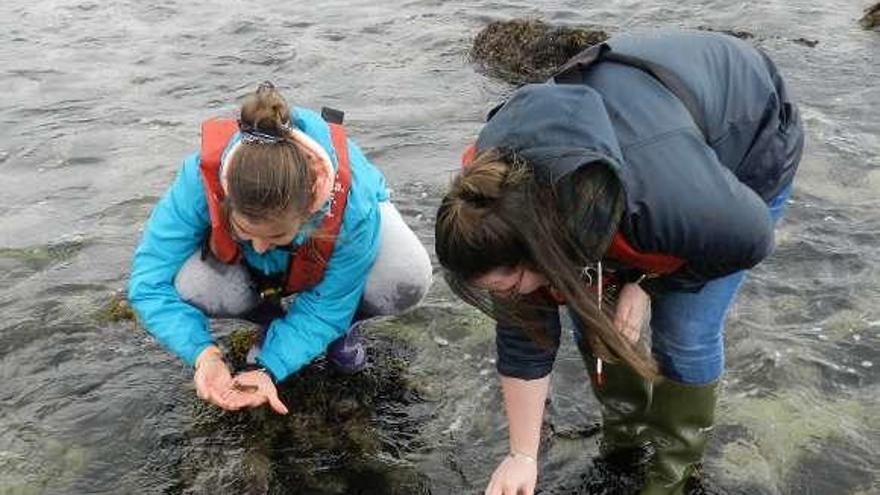 Ejemplares de bogavante criados en A Illa repueblan el litoral de Carnota