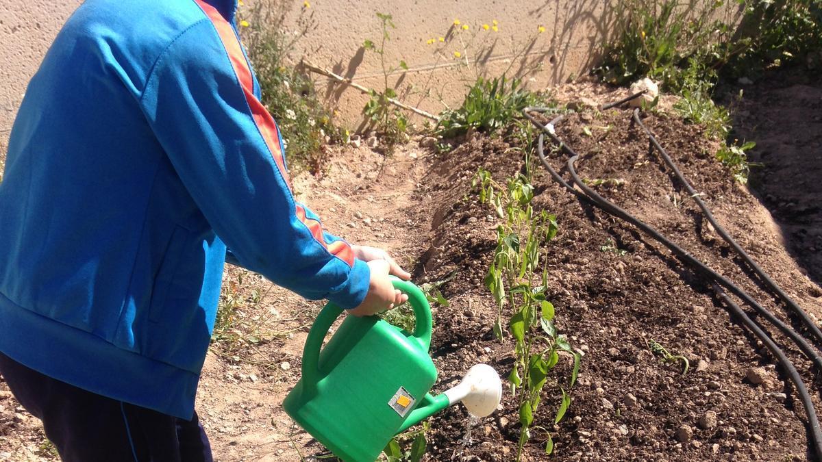 Un escolar riega las plantas que ellos mismos cultivan.