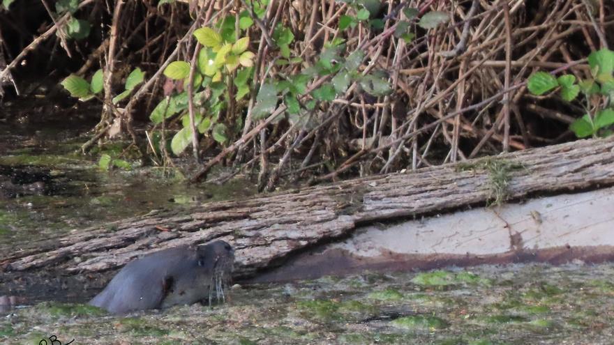Primer 'robado' a la escurridiza nutria del Clot de Burriana: la pillan in fraganti en el agua