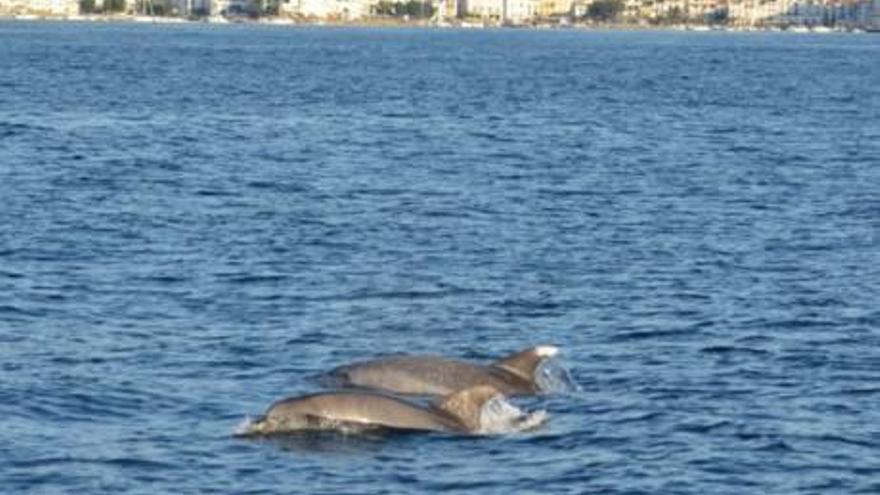El corredor de cetacis del Mediterrani és declarat Àrea Marina Protegida