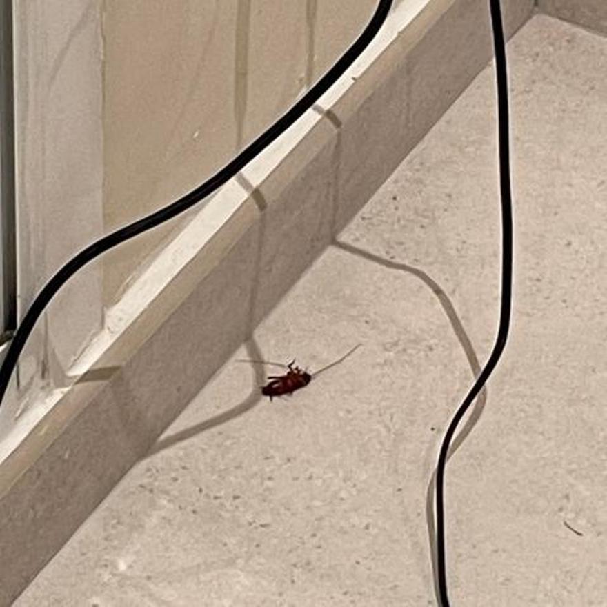 Cucaracha en el interior de una vivienda en Rocafort