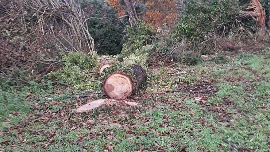 Calvo dice que los árboles talados en Brántega tenían síntomas de abandono