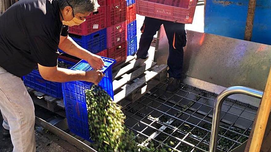 La producción de aceite de oliva en Mallorca disminuye un 4% respecto al año anterior