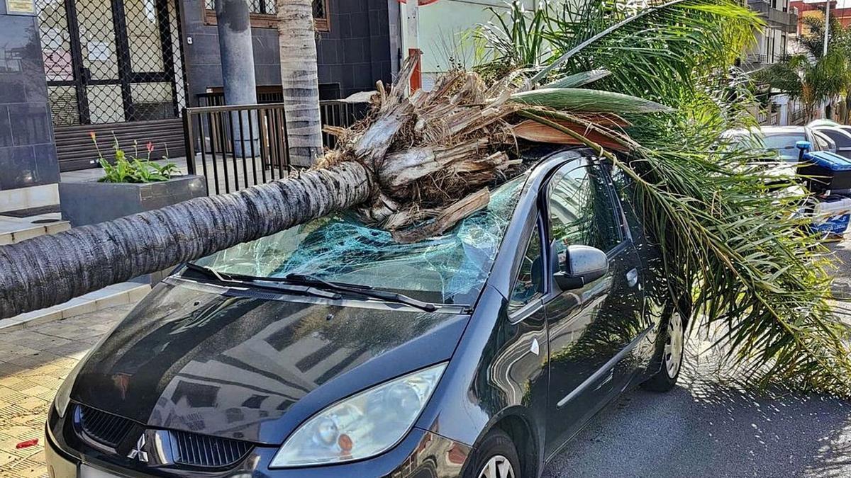Esta palmera cayó en la avenida de Bélgica sobre un vehículo al que causó diversos daños.