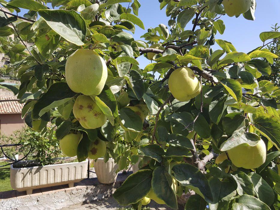 El codonyer és un arbre fruiter de la família Rosaceae i únic membre del gènere Cydonia, conreat principalment pel seu fruit, el codony.