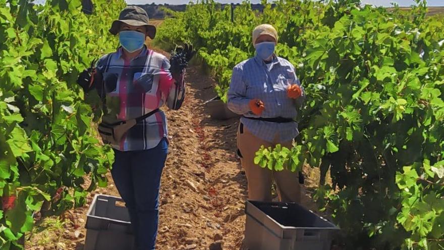 Toro cierra la vendimia con una cosecha de 20,6 millones de kilos