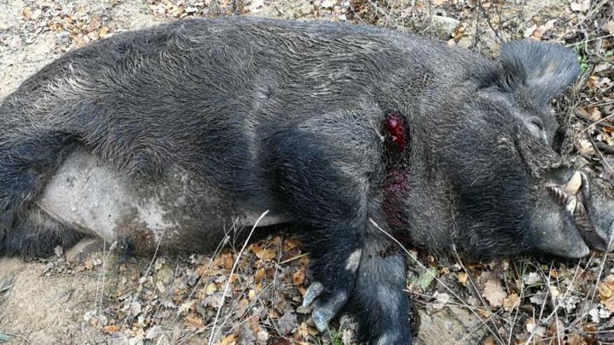 Tretze afectats per triquinosi després de menjar porc senglar de caça