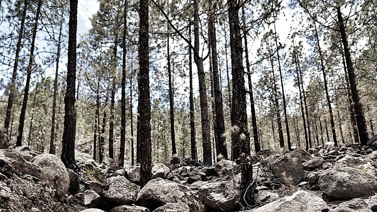 Zona de la Corona Forestal arrasada por el reciente incendio en los altos de Arico.