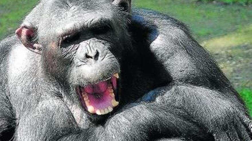 Cuando estalló la guerra entre los chimpacés