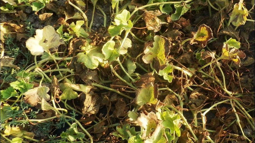 Aragón investiga sobre las enfermedades y plagas en el cultivo del melón y la sandía