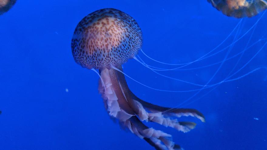 El Oceanogràfic y el CSIC unen fuerzas para estudiar a las medusas