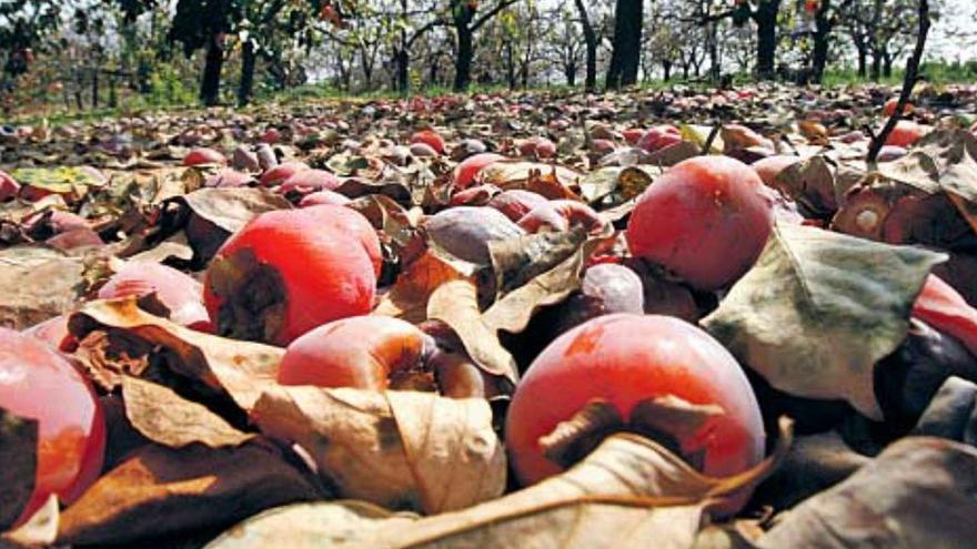 El IVIA ensaya fungicidas alternativos para el caqui por la resistencia del hongo