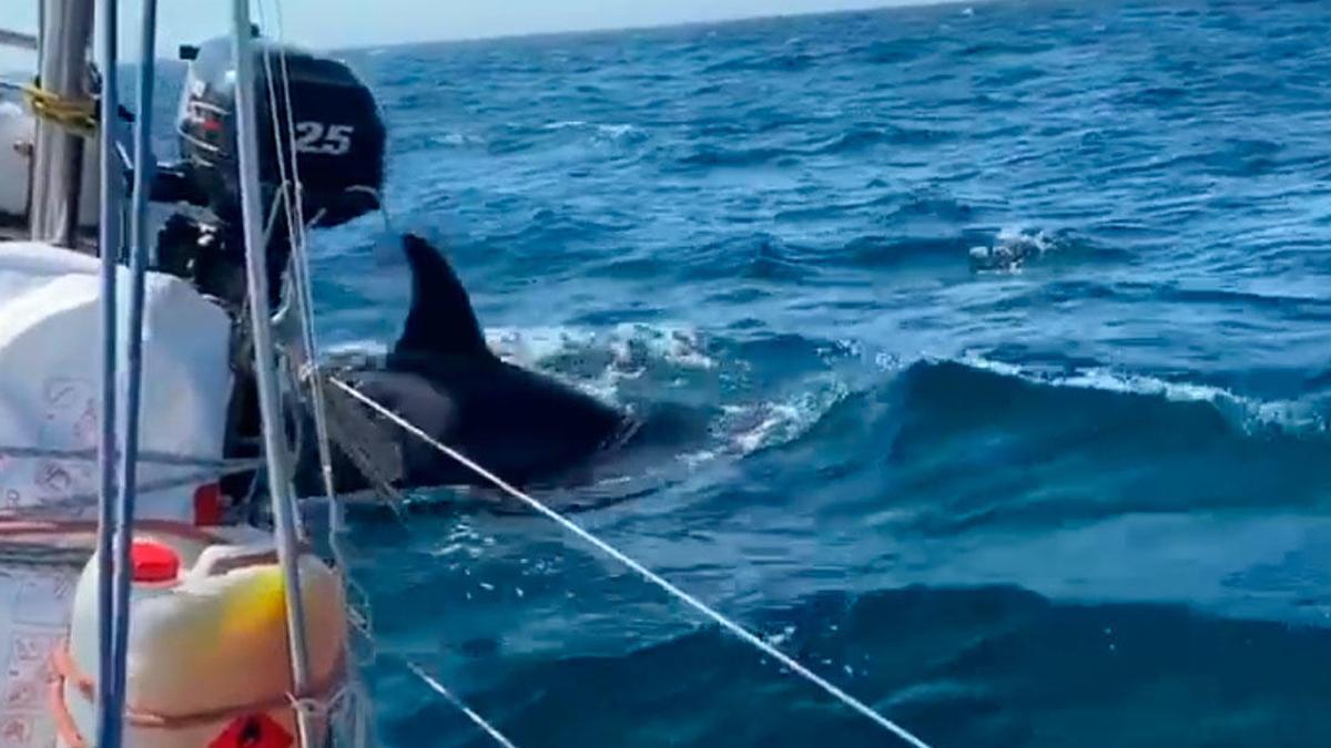 """La orca que dañó en Cabo Prior al yate británico """"Beautiful Dreamer"""" en septiembre de 2020"""