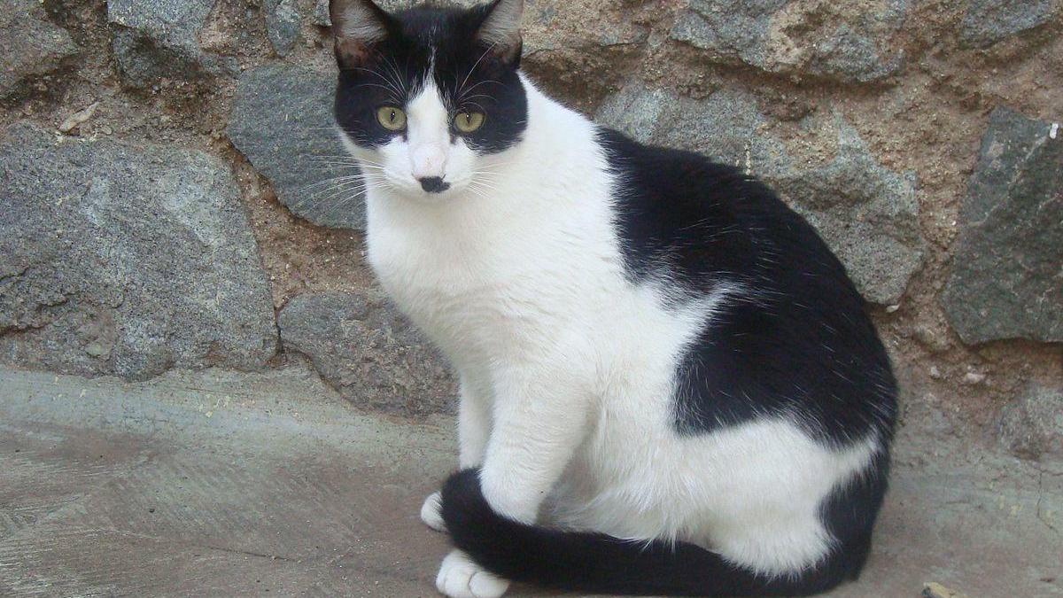Impulsen una campanya d'esterilització per a gats domèstics a Pedret i Marzà