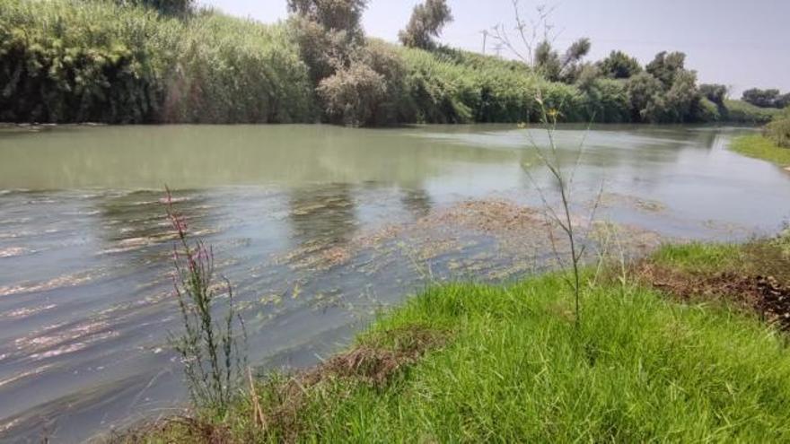 Las algas acuáticas se extienden y dificultan la navegación en el Xúquer
