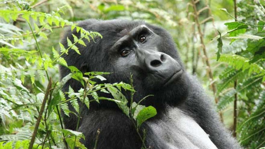 Los gorilas de montaña comienzan a recuperarse