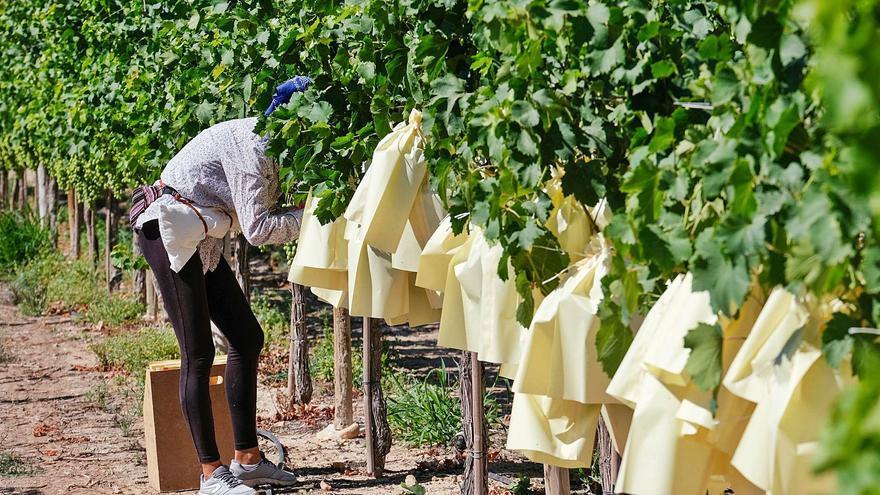 El pedrisco y el arranque de viñas hunden la cosecha de uva de mesa