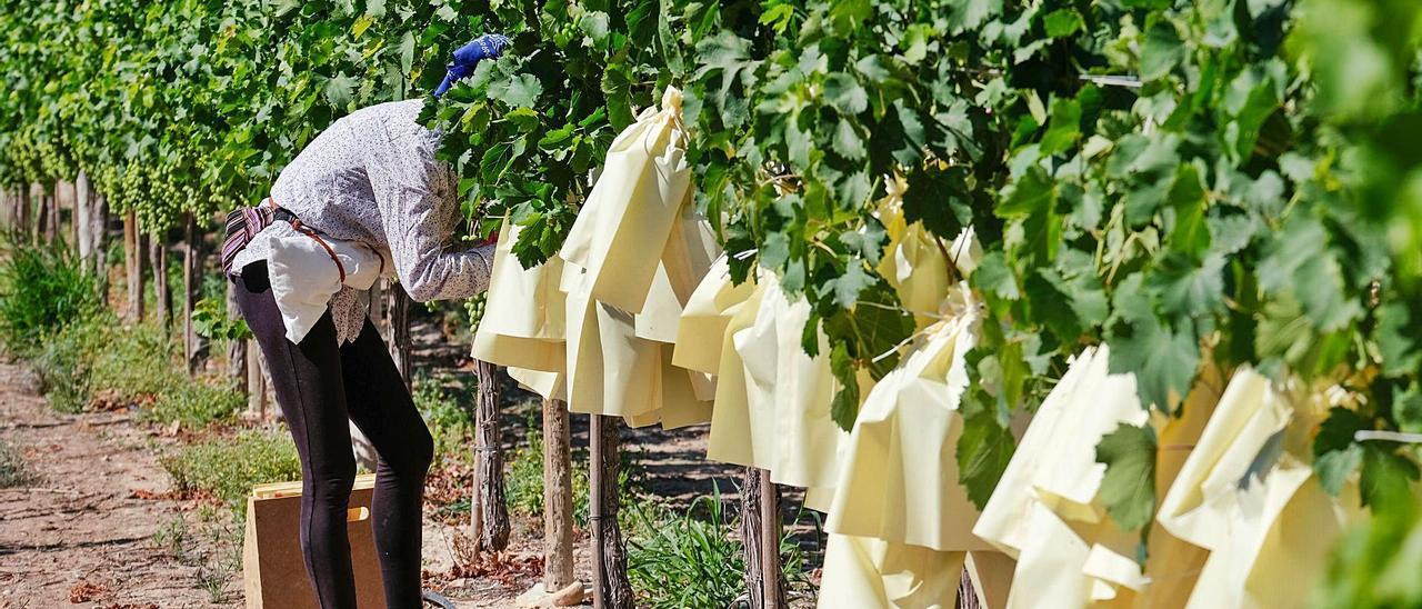 Trabajo de embolsado de la uva de mesa en el Vinalopó.   