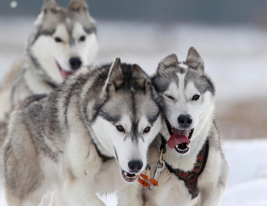 A team of huskies pull a rig during a training ...