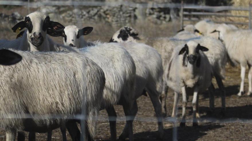 "Investigan una granja ""ilegal"" de ovino en Toro"