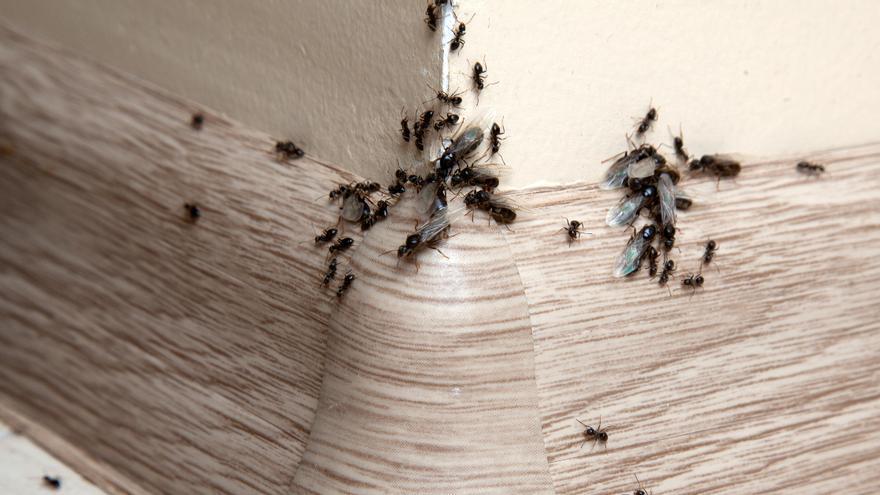 Diez remedios naturales para acabar con las hormigas en casa