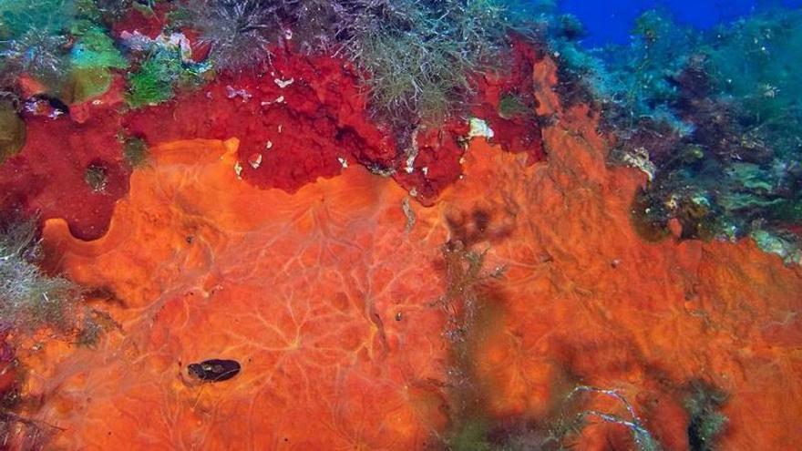 El agente naranja del mar pitiuso