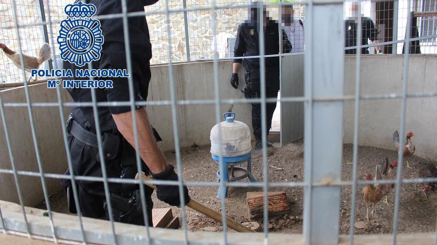 Cae una organización dedicada a peleas clandestinas de gallos en un chalé en la Ribera