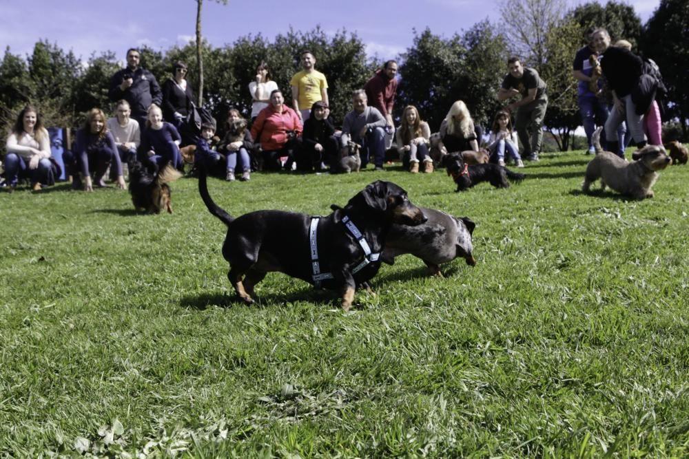 Concentración de perros teckel en Los Pericones.