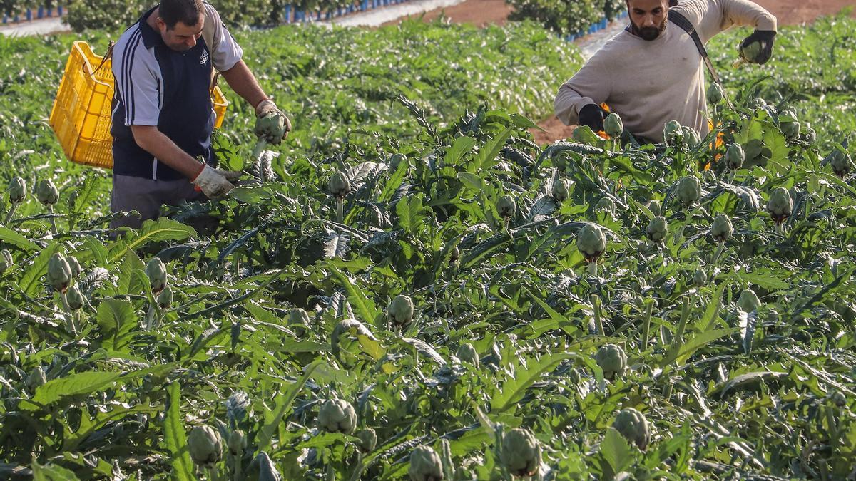 Jornaleros agrícolas recogiendo alcachofas en una explotación del sur de la provincia