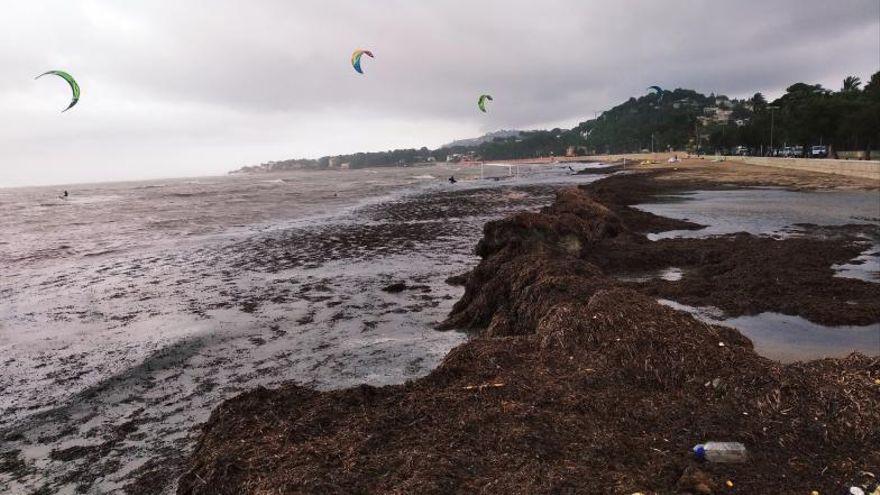 La barrera de arribazones de posidonia salva la playa en Dénia