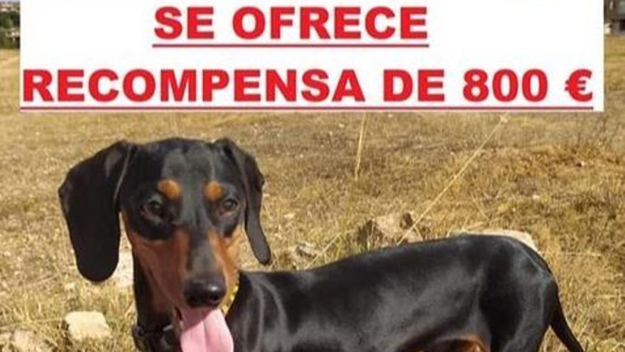 Ochocientos euros por Paco, un perro desaparecido en La Pobla de Vallbona