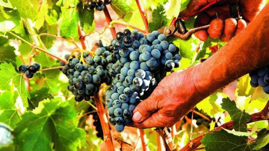 Vivir la vendimia en Tierra Bobal