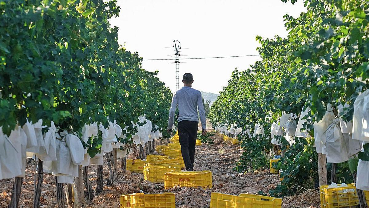 Harvesting of the so-called table grape in the fields of Vinalopó.  |  ÁXEL ÁLVAREZ