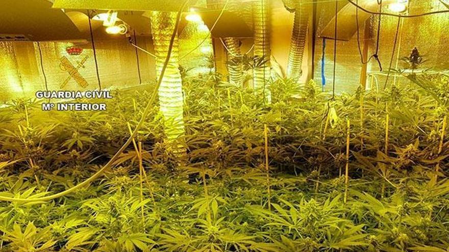 163 Cannabis-Pflanzen in Llucmajor sichergestellt