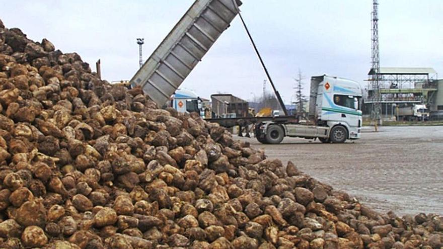 La ayuda asociada al cultivo de remolacha aumenta en 125 euros por hectárea