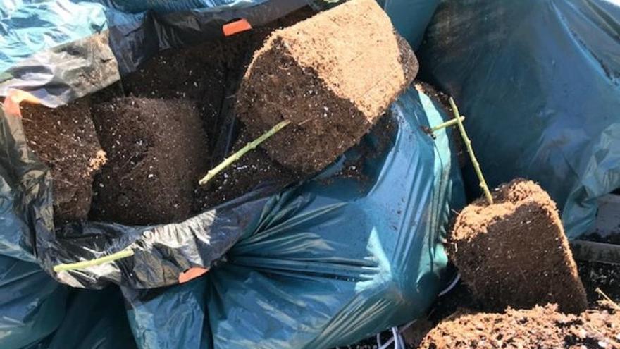 Aboquen restes de plantes de marihuana a tocar de l'escola Pous i Pagès de Figueres