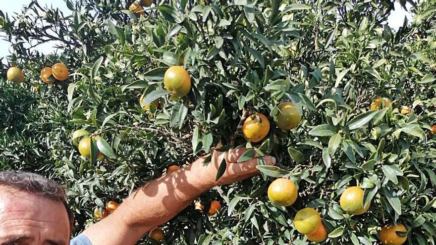 El jabalí provoca más daños al comerse ahora las naranjas y caquis del árbol