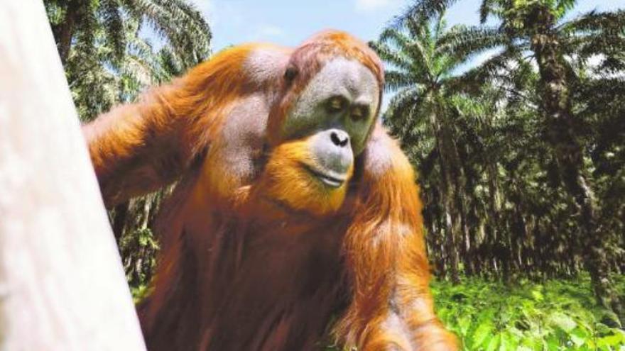 El aceite de palma se cae de la  cesta de la compra de los europeos
