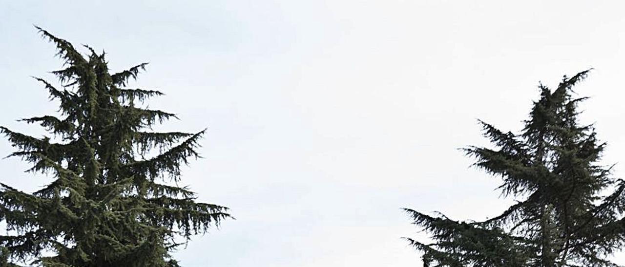 Los cedros podados en la plaza de Santa Bárbara. | Jandro Rodríguez