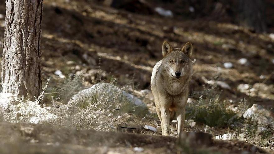 Equo defiende al lobo como la mejor forma de controlar la fauna mayor en Sierra Morena