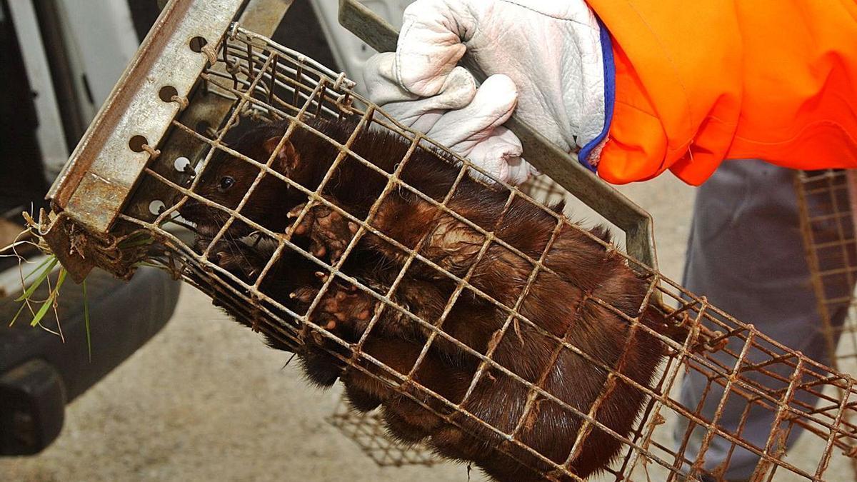 Un visón en una jaula en una granja del Xalo, tras la fuga de miles de animales, en 2004. |   // VÍCTOR ECHAVE