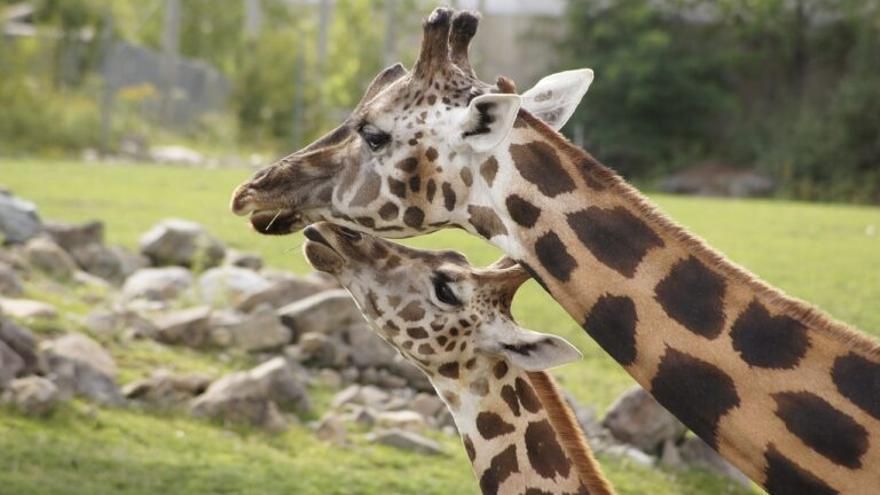 El porqué de la evolución genética única de las jirafas