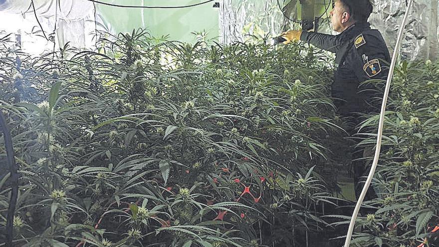 Dos detenidos y 132 plantas de cannabis intervenidas en Albaida