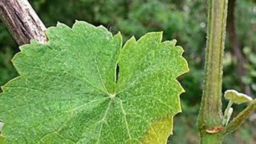 Areeiro recomienda un tratamiento preventivo contra el mildiu