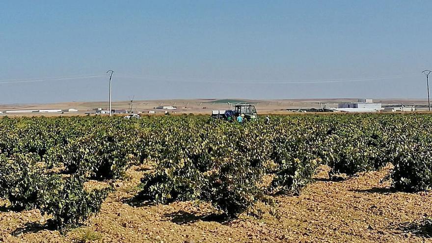 Las variedades de uva moscatel y albillo real se suman a las autorizadas en la DO Toro