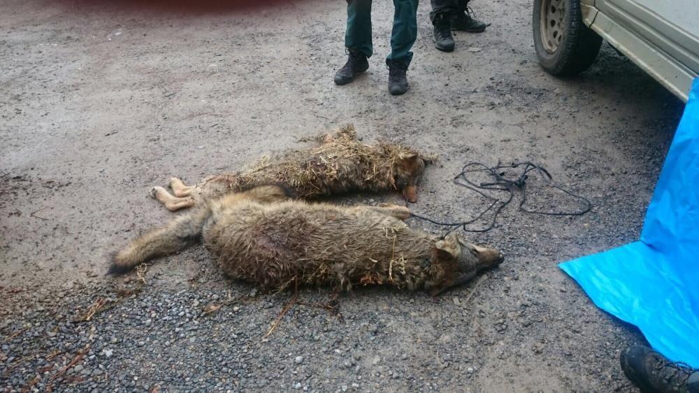 Encuentran dos lobos muertos en Arriondas
