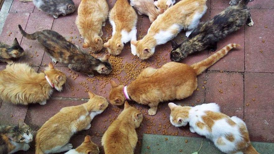 Investigado en Candelaria por intentar envevenar a una colonia de gatos